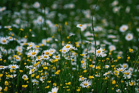 nature, daisies, flowers, yellow, white, green, meadow