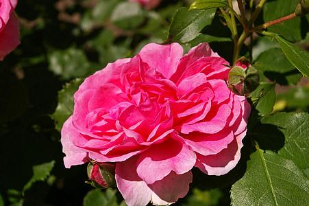 tõusis, roosa roos, lõhnav rose, roosi aed, õis, Bloom, roos õitseb