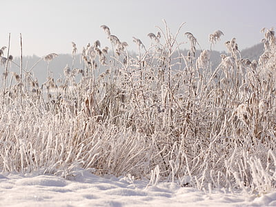 winter, snow, wintry, cold, snowy, reed, winter mood