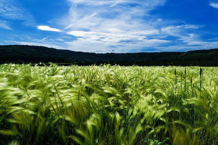 agriculture, blue sky, cornfield, grain field, nature