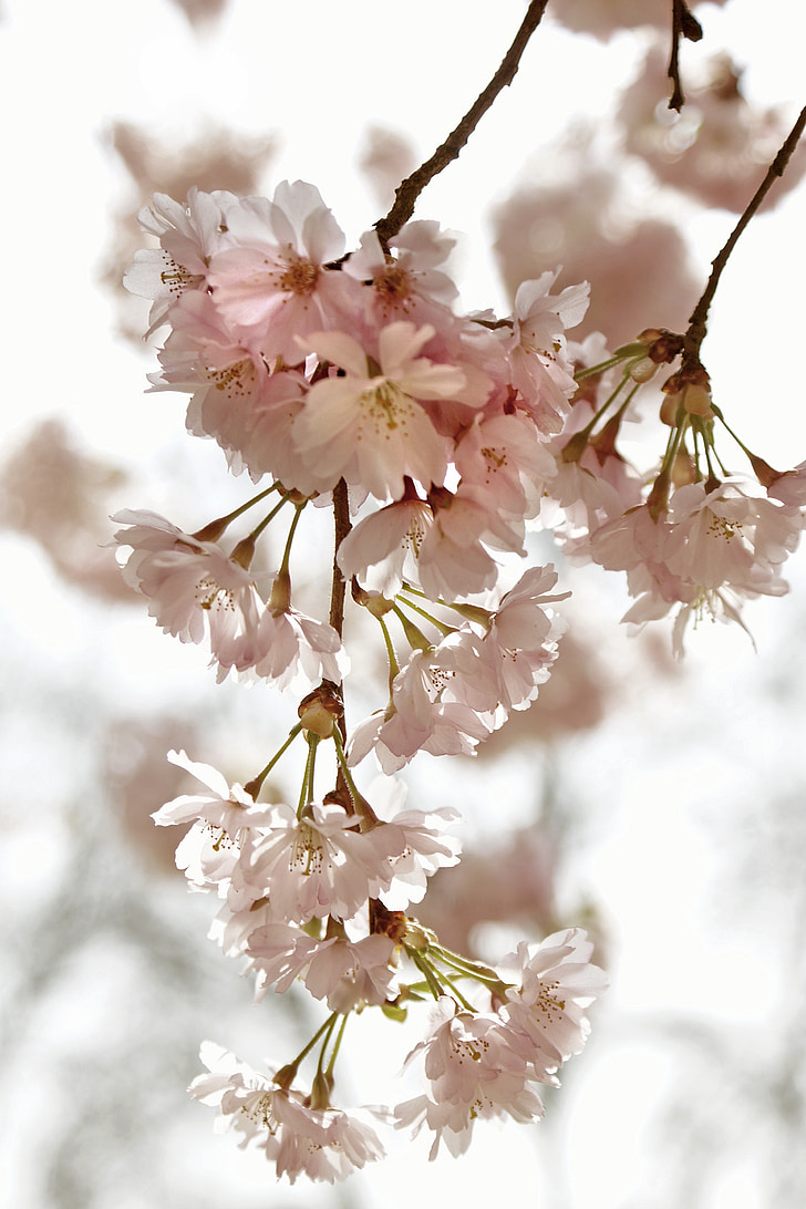 cherry blossom time, kirch blossoms, spring, flowers, nature, back light, blossom