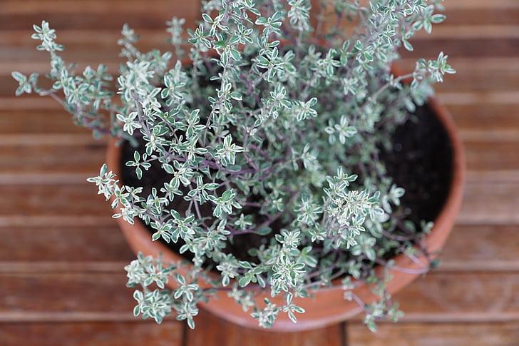 farigola, herbes, espècies, planta