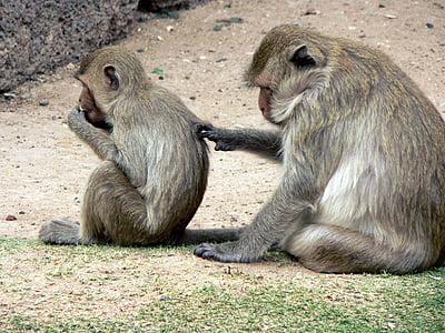 Tailàndia, micos, Lampang, Cercopitec, maternitat, primats, salvatge