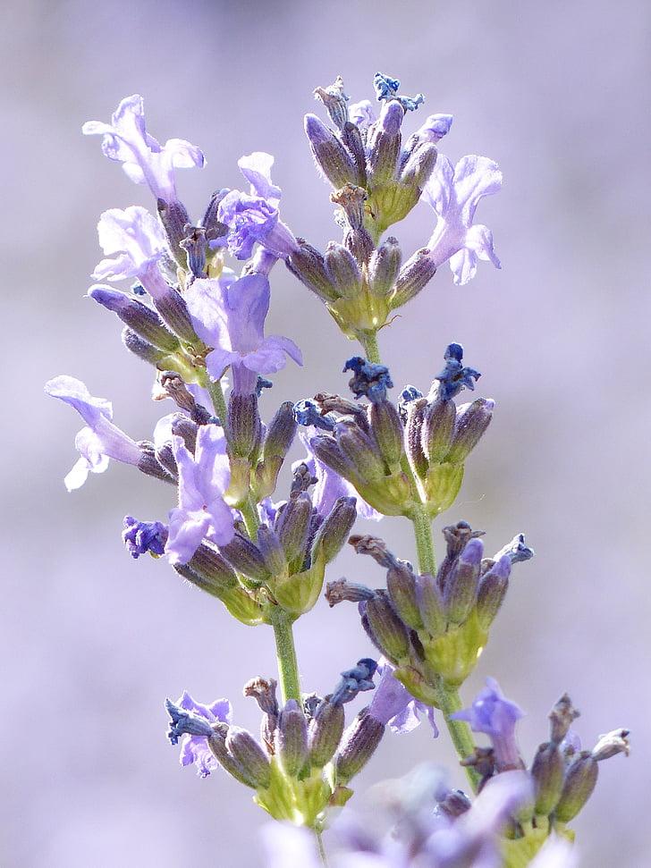 Levanda, levandų gėlės, violetinė, violetinė, Žiedynas, tikrosios levandos, siaurų lapų levanda