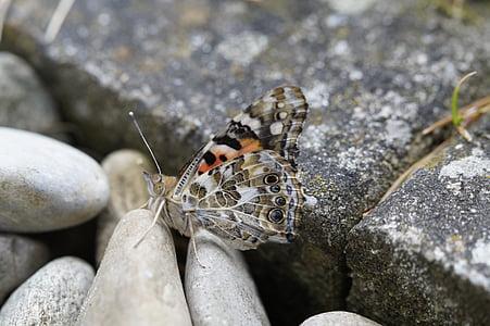 pillangó, festett hölgy, edelfalter, rovar, pillangók, állat, szárny
