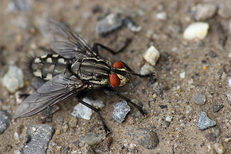 fly, bluebottle, insect, eyes, insect macro, macro, close