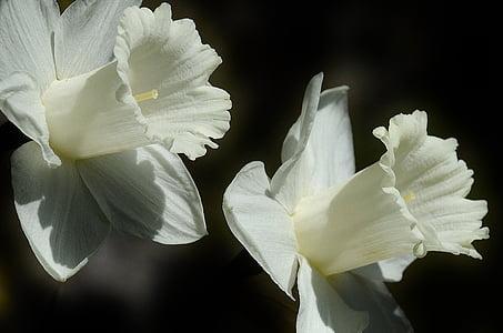 Daffodil, flor, lliri de Pasqua, primavera, blanc, flor, Lilium longiflorum i