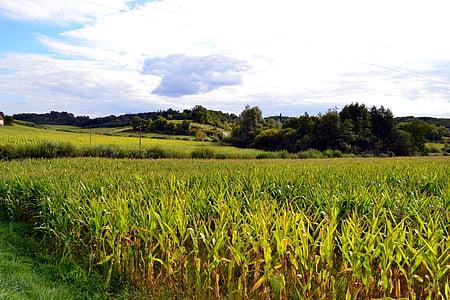 camp de blat de moro, camps, l'agricultura, natura, paisatge, camp, Dordonya