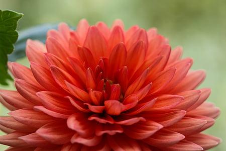 flor, dàlia, jardí, flor, flor, tancar, macro