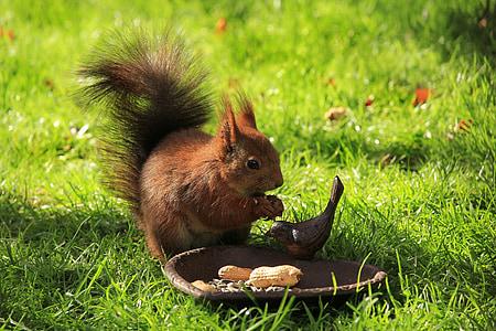 esquirol, marró, jardí, menjar, valent