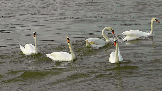swan dance, swans, swan ballet, waterfowl, water bird, river, swim