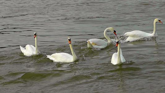 Dansa dels cignes, cignes, ballet de cigne, aus aquàtiques, ocell d'aigua, riu, nedar