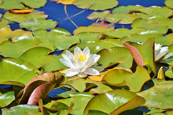 water lily, rose, flower, water rose, nuphar lutea, pond plant, lake rosengewächs