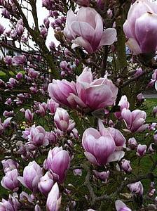 дърво, Магнолия, розово, цветя, природата, лале, цвете
