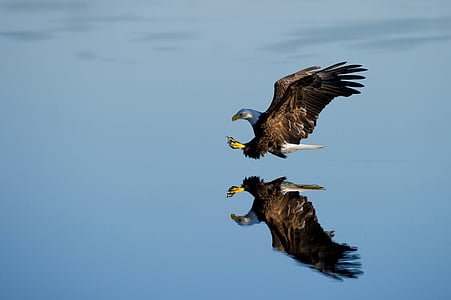 reflective, water, animal, photography, bald, eagle, blue