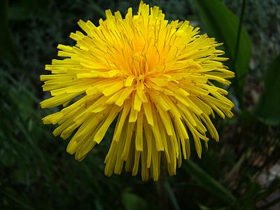 Regrat, rastlin, Plevel, rumena, poletje, cvet