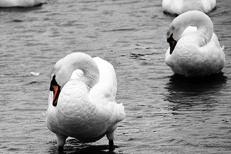 лебеди, птици, дива природа, вода, езеро, лебед
