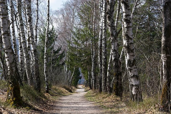 wiosna, od, Szlak, drzewa, brzoza, Avenue, pieszo