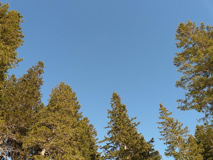 Ædelgran skov, Fir, træ, træer, landskab, Sky, vidvinkel