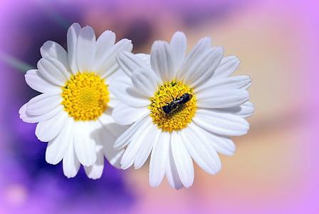 margarides, flors, jardí, flora, natura, l'estiu, flor