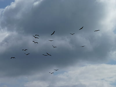 migratory birds, storks, collect, departure, bird migration, swarm, flock of birds