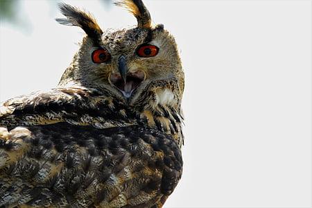 eurasian eagle owl, owl, bird, wildlife, prey, eurasian, eagle