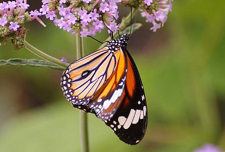perhonen, eksoottinen, Tropical, hyönteinen, Butterfly house, eläinten, siipi