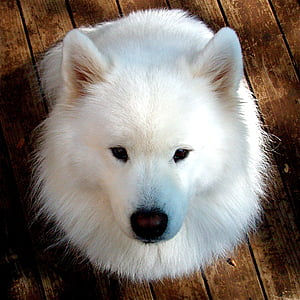 samoyed, gos, gossos feliços, animal de companyia, animal, cadell, blanc