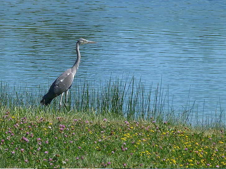 lintu, maahanmuutto, eläimet, vesi, lampi, Luonto