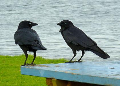 ravens, black birds, conversation, talking, communication, birds, australia