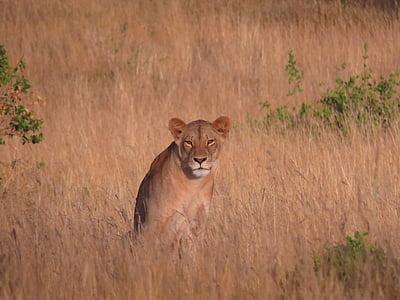 lioness, savannah, africa, lion, wildlife, nature, cat