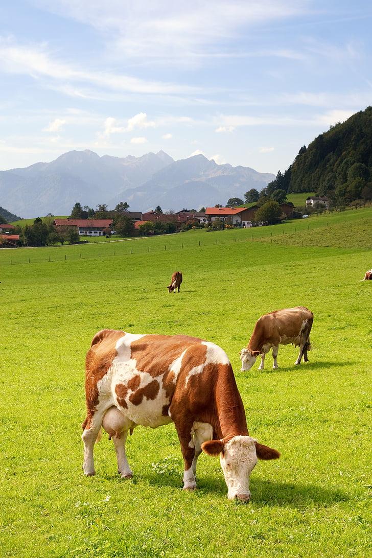 Alta Baviera, Alemanya, l'agricultura, Prat, les pastures, l'estiu, bestiar