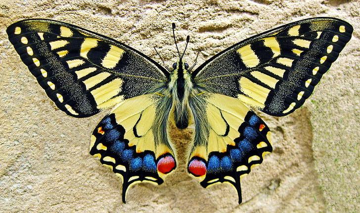 Метелик, Ластівка білохвоста метелик, Комаха, Природа, swallowtail, барвистий, жовтий