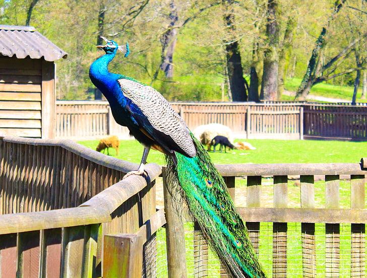 паун, птици, цветни, цвят, преливащи се цветове, Грийн, птица