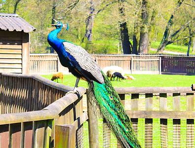 peacock, birds, colorful, color, iridescent, green, bird