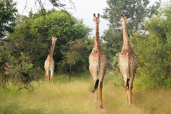 corrent girafes, animals grans, grup, Àfrica