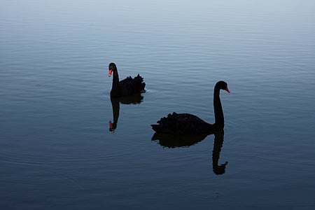 black swan, rare, probability, bird, swan, nature, animal