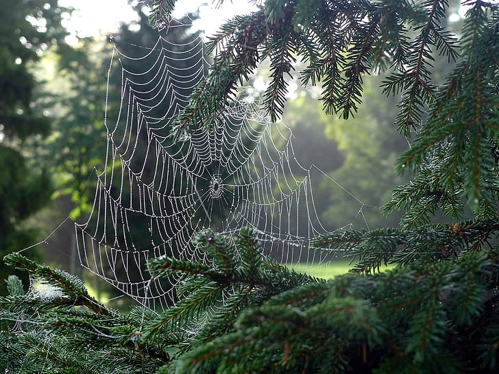 cobweb, network, spider, dew, dewdrop, morning dew, morgentau