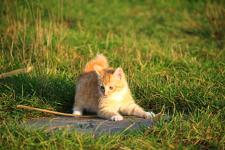 cat, kitten, cat baby, young cat, red cat, grass, domestic Cat