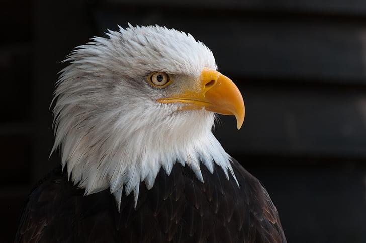 Bald eagles, Adler, Raptor, Quốc huy chim, đóng, chân dung, duyên dáng