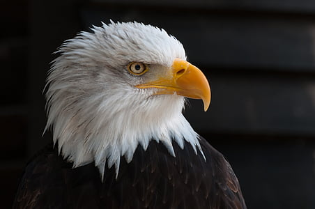 bald eagles, adler, raptor, coat of arms of bird, close, portrait, graceful