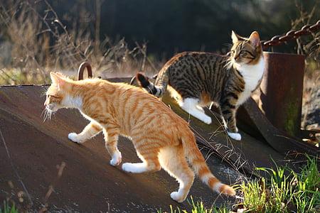 cat, kitten, mackerel, red mackerel tabby, domestic cat, mieze