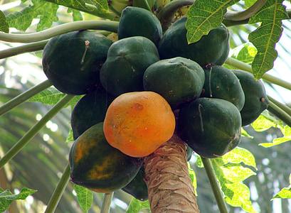 παπάγια, Dharwad, Καρνάτακα, Ινδία, φρούτα, ζουμερά, τροφίμων