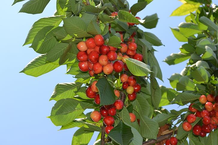 cseresznye, természet, gyümölcs, nyári, szezon