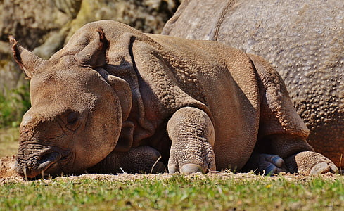 tê giác, trẻ con vật, động vật hoang dã, động vật có vú, Thiên nhiên, động vật, sở thú