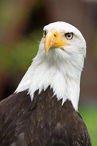 Адлер, Гербът на птица, раптор, затвори, птичи поглед, плешив Игълс, перушина