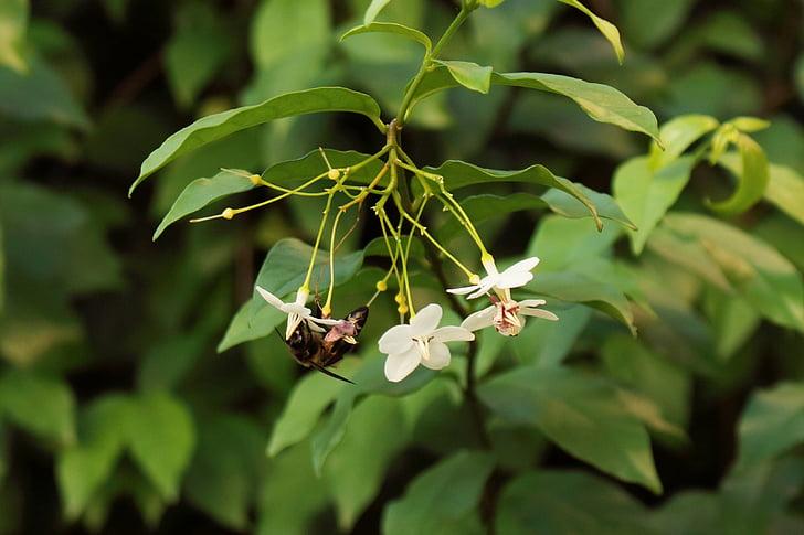 natura, abella, fulla, olor, gessamí, verd