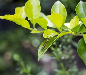 mosquit, insecte, macro, jove, natura, fulla