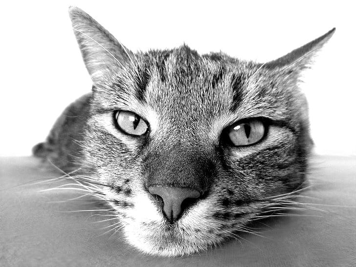 kat, ontspannen, relaxen, Camacho, zwart, wit, neus