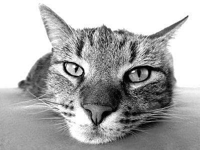 kissa, rentoutua, Rauhoitu, Camacho, musta, valkoinen, nenä